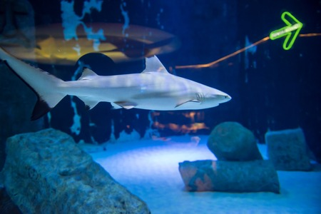 Blacktip Reef shark swimming in big tropical aquarium