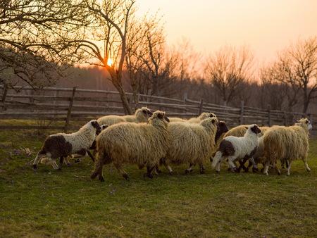 sheeps farm animal group flock in grass field on spring sunset are prepare for Islamic sacrifice festival eid al adha 스톡 콘텐츠