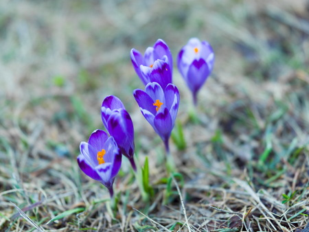 crocus purple flower first sign of spring Stock Photo