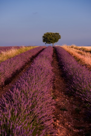 lonely tree at lavender field in summer purple aromatic flowers near valensole in provence france