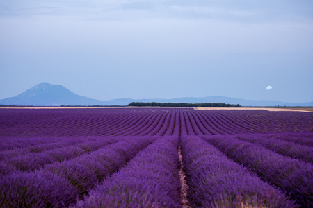 the moon above lavender field in summer purple aromatic flowers near valensole in provence france