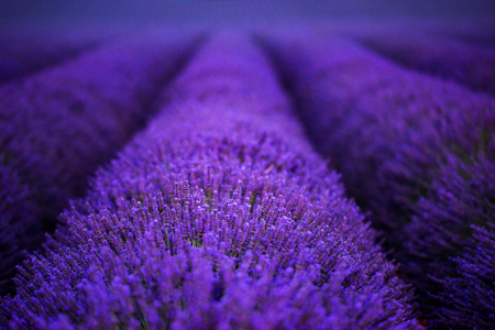 lavender field in summer purple aromatic flowers near valensole in provence france Stock Photo - 119999566
