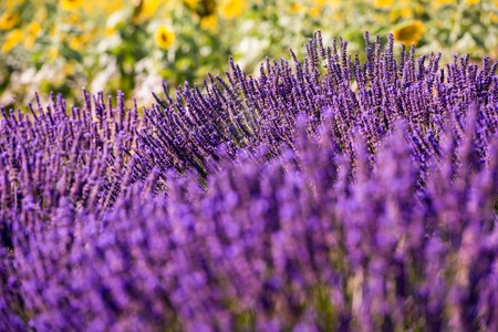 Close up Bushes of lavender purple aromatic flowers at lavender field in summer near valensole in provence france Stock Photo