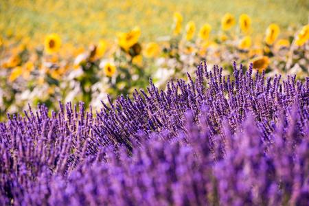 Bliska Krzewy lawendowych fioletowych aromatycznych kwiatów na lawendowym polu latem w pobliżu valensole w prowansji we francji