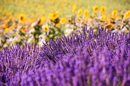 Close up Bushes of lavender purple aromatic flowers at lavender field in summer near valensole in provence france 스톡 콘텐츠