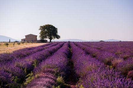 old brick house and lonely tree at lavender field in summer purple aromatic flowers near valensole in provence france Imagens