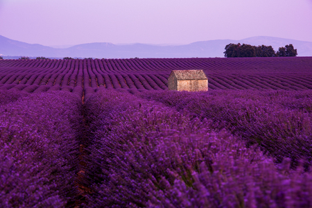 lonely old abandoned stone house at lavender field in summer purple aromatic flowers near valensole in provence france Stock Photo