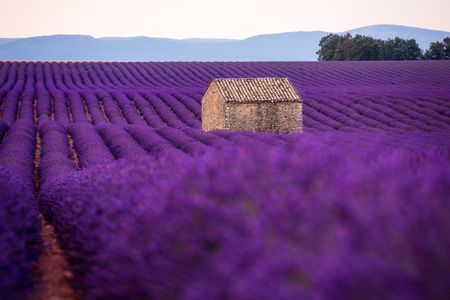lonely old abandoned stone house at lavender field in summer purple aromatic flowers near valensole in provence france Imagens