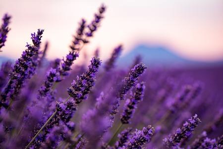 Cerrar arbustos de flores aromáticas púrpura lavanda en campo de lavanda en verano cerca de valensole en provence francia Foto de archivo