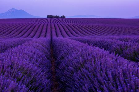 Coucher de soleil coloré au champ de lavande en été fleurs aromatiques violettes près de valensole en provence france