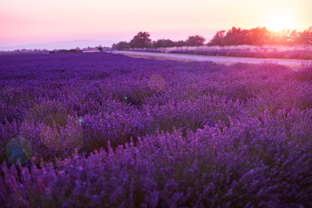 colorful sunset at lavender field in summer purple aromatic flowers near valensole in provence france