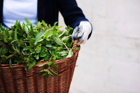 gardening woman holding wooden basket with healthy herbs ment peppermint tea fresh close up Foto de archivo