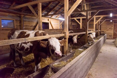agriculture industry, farming and animal husbandry concept herd of cows eating hay in cowshed on dairy farm