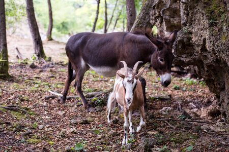 portrait of Donkey and goat in the woods