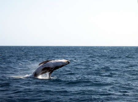 A breaching humpback whale calf jumping out of the water in Hervey Bay, Australia. photo