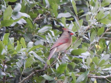 Younger Cardinal