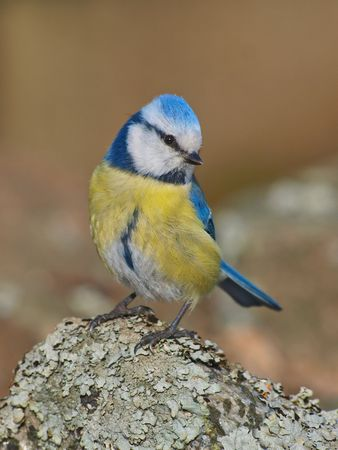 caeruleus: Blue Tit, Cyanistes caeruleus Stock Photo