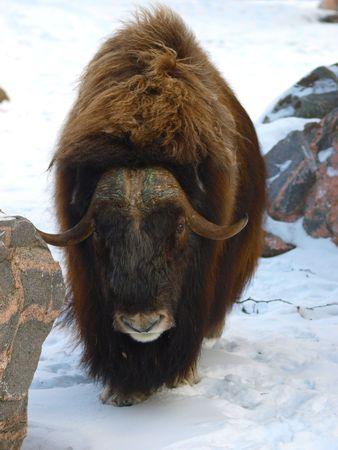 ox: musk ox