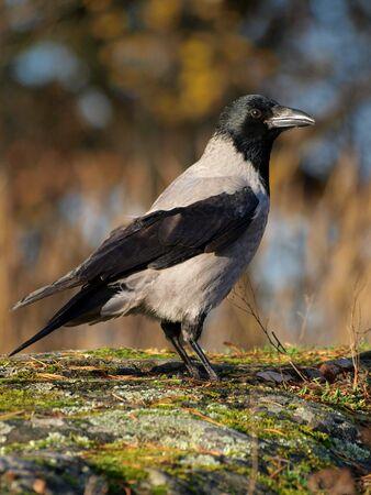 corvus: Encapuchados de Crow Corvus cornix Foto de archivo