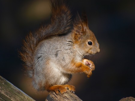 Red squirrel Stock Photo - 6988439