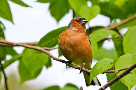 chaffinch: Fringuello. Seduta su albero