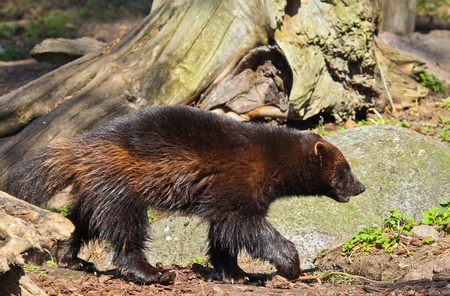 Wolverines in forest enviroment. From Zoo Standard-Bild