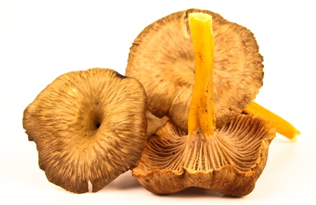 chanterelle: Fresh funnel chanterelle