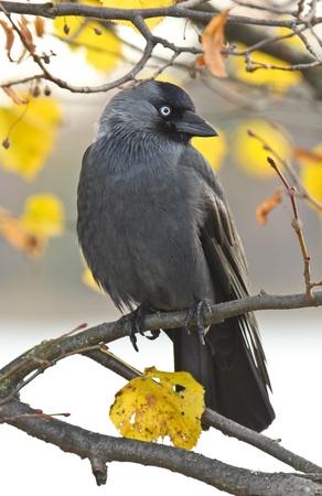 Crow sitzt in einem Baum Standard-Bild - 11310112