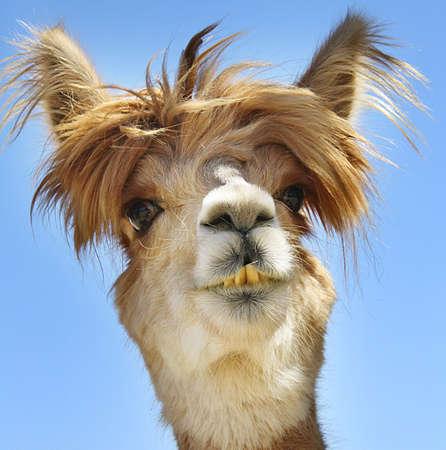 funny hair: Alpaca with funny hair.