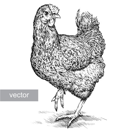 Isolated engraving black and white chicken illustration 矢量图像