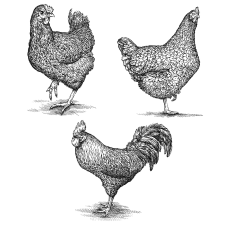 Isolated engraving black and white chicken illustration Stockfoto