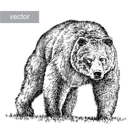 grizzly bear: engrave isolated bear illustration sketch. linear art