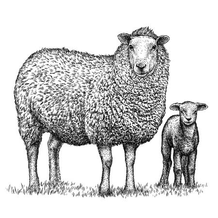 graveren geïsoleerde schapen illustratie schets. lineaire art Stockfoto