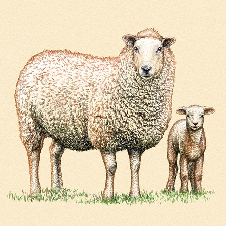 mutton: engrave isolated sheep illustration sketch. linear art Stock Photo
