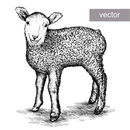 engrave isolated vector sheep illustration sketch. linear art Çizim