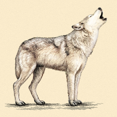 engrave: engrave isolated wolf illustration sketch. linear art