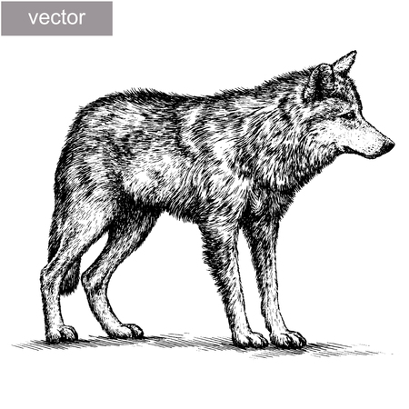 artful: engrave isolated vector wolf illustration sketch. linear art