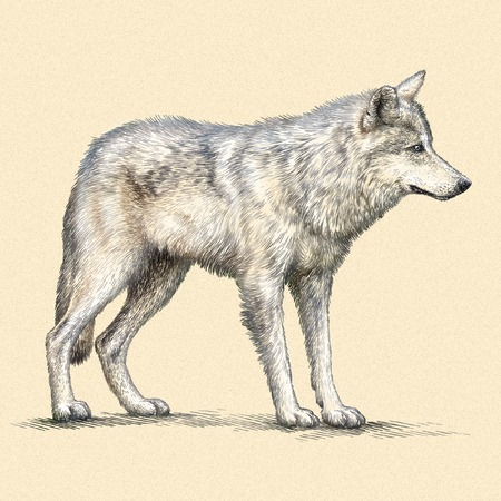 linear art: engrave isolated wolf illustration sketch. linear art