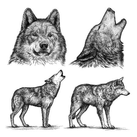 lobo: grabar aislado Ilustración lobo esbozo. lineal de la técnica