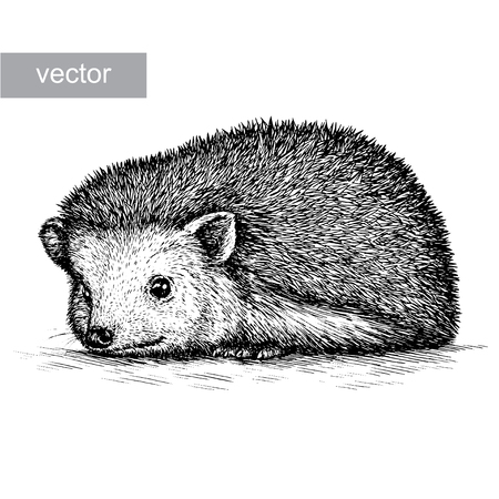 engrave isolated hedgehog illustration sketch. linear art