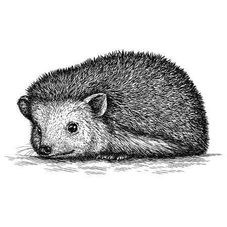 hedgehog: engrave isolated hedgehog illustration sketch. linear art