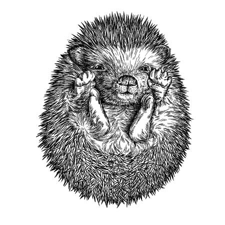 고립 된 고슴도치 그림 스케치를 새기다. 선형 예술 스톡 콘텐츠