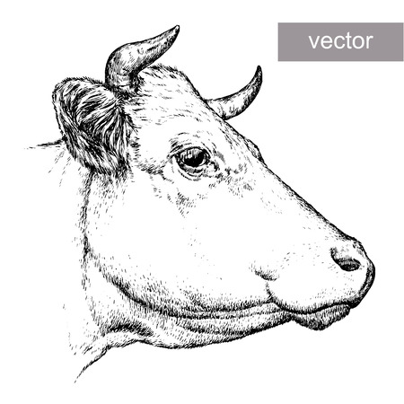 bull head: engrave isolated cow vector illustration sketch. linear art