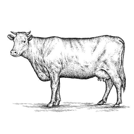 Graveren geïsoleerd koe illustratie schets. lineaire art Stockfoto - 46494907