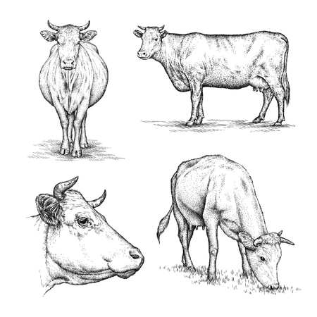 engrave isolated cow illustration sketch. linear art