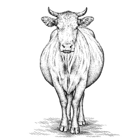 animal head: engrave isolated cow illustration sketch. linear art