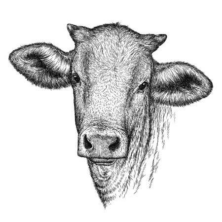 graveren geïsoleerd koe illustratie schets. lineaire art