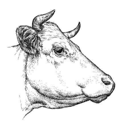 cow head: engrave isolated cow illustration sketch. linear art
