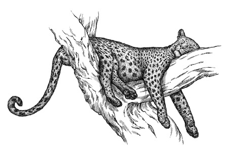 engrave isolated leopard illustration sketch. linear art