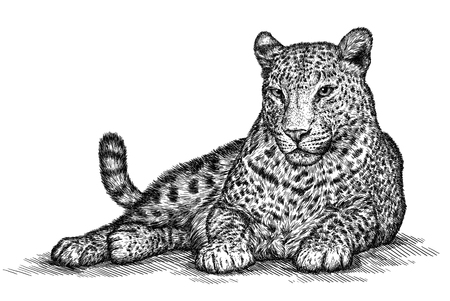 engrave: engrave isolated leopard illustration sketch. linear art